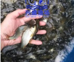渔场草鱼鲤鱼鲫鱼青鱼供应唐山地区可送货